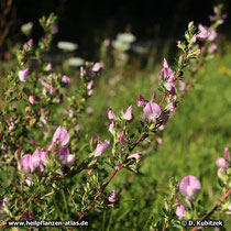 Dornige Hauhechel (Ononis spinosa) Zweig