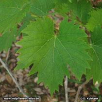 Echte Weinrebe (Vitis vinifera subsp. vinifera)