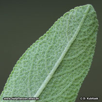 Spanischer Salbei (Salvia lavandulifolia), Blattunterseite
