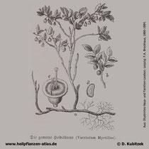 Heidelbeere (Vaccinium myrtillus), historische Grafik