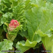 Chinesischer Rhabarber (Rheum officinale), Blütenansatz