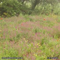 Gewöhnlicher Erdrauch (Fumaria officinalis) wächst hier auf städitischem Brachland (Nordrhein-Westfalen)