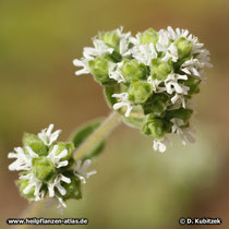 Majoran (Origanum majorana), Blütenstand