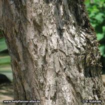 Mönchspfeffer (Vitex agnus-castus) Rinde einer alten Pflanze
