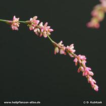 Färberknöterich, Persicaria tinctoria (synonym: Polygonum tinctorium) Blütenstand