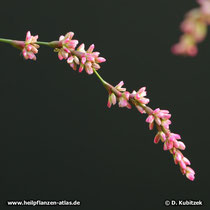 Färberknöterich (Persicaria tinctoria; synonym: Polygonum tinctorium), Blütenstand