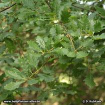 Trauben-Eiche (Quercus petraea), Zweige