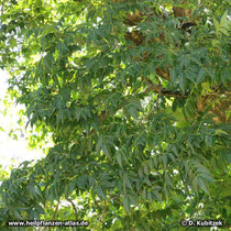 Amur-Korkbaum (Phellodendron amurense)