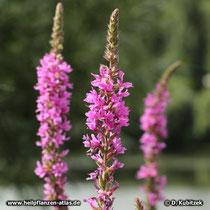 Butweiderich (Gewoehnlicher Blutweiderich, Lythrum salicaria)