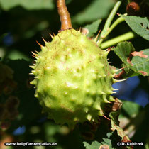 Rosskastanie (Aesculus hippocastanum), stachelige Frucht