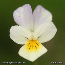 Feld-Stiefmütterchen (Viola arvensis), Blüte