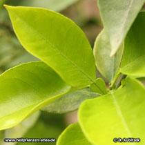 Orange (Citrus aurantium): Die Blattstiele sind vor dem Blatt geflügelt.