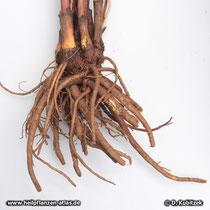 Liebstöckel (Levisticum officinale), Rhizom und Wurzeln