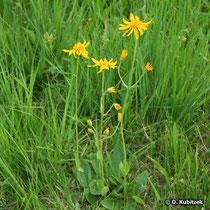 Arnika (Arnica montana) Wuchsform