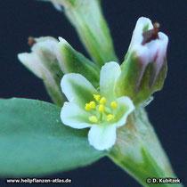 Vogelknöterich (Polygonum aviculare), Blüte