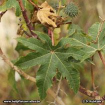 Das Blatt von Rizinus (Ricinus communis) ist handförmig gespalten bis geteilt.