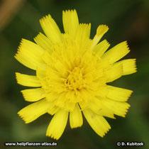 Kleines Habichtskraut (Hieracium pilosella), Blütenkorb