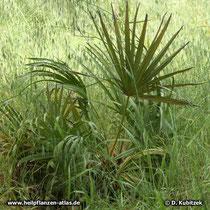 Sägepalme (Serenoa repens, synonym: Sabal serrulata)