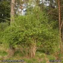 Gewöhnliche Berberitze (Berberis vulgaris), Wuchsform: Strauch