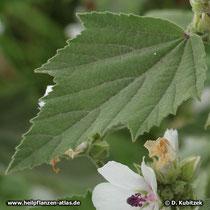 Das Blatt des Echten Eibisch (Althaea officinalis) ist dicht haarig.