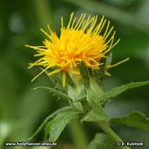 Färberdistel (Färber-Saflor, Carthamus tinctorius), Blütenstand (Blütenkorb)