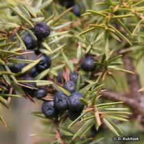Wacholder (Gewöhnlicher Wacholder, Juniperus communis)