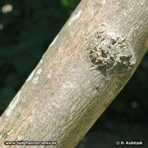 Mönchspfeffer (Vitex agnus-castus) Rinde einer jüngeren Pflanze