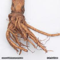 Echte Engelwurz (Angelica archangelica), Rhizom und Wurzeln