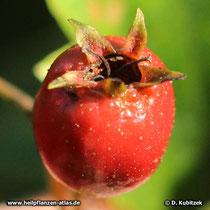 Reife Frucht des Zweigriffeligen Weißdorns. Hier lassen sich noch die zwei Griffel erkennen.
