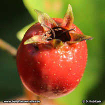 Reife Frucht des Zweigriffeligen Weißdorns (Crataegus laevigata). Hier lassen sich noch die zwei Griffel erkennen.
