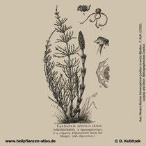 Acker-Schachtelhalm, Equisetum arvense
