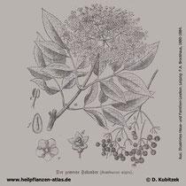 Holunder (Sambucus nigra), historische Grafiken