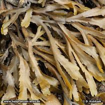 Sägetang (Fucus serratus)