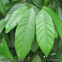 Muskatnussbaum (Myristica fragrans), Blätter