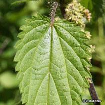 Grosse Brennnessel (Urtica dioica), Blatt