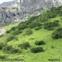 Latschenkiefern (Pinus mugo) auf einem Grashang im Gebirge