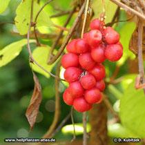 Schisandra chinensis Früchte