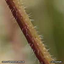 Haare befinden sich auch auf den Stängeln des Blassen Sonnenhuts (Echinacea pallida).