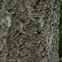 Amur-Korkbaum (Phellodendron amurense) Rinde