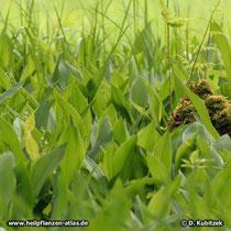 Maiglöckchen (Convallaria majalis), Wuchsform