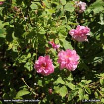 Rosa x damascena f. trigintipetala (Bulgarische Ölrose), blühender Strauch