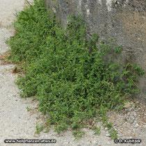 Vogelknöterich (Polygonum aviculare), Standort