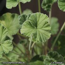 Pelargonium sidoides, Wuchsform