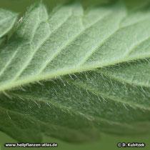 Blattunterseite Kleiner Odermennig