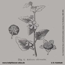 Echter Eibisch (Althaea officinalis), historische Grafik