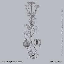 Anis (Pimpinella anisum): Historische Grafik