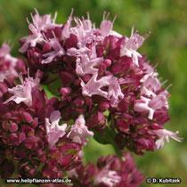 Gewöhnlicher Dost (Origanum vulgare), Blütenstand