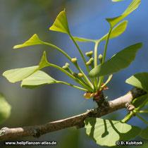Ginkgo (Ginkgo biloba), weibliche Blüten