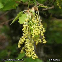 Die männlichen Blüten der Flaum-Eiche. Männliche und weibliche Blüten sind auf derselben Pflanze getrennt (einhäusig = monözisch).