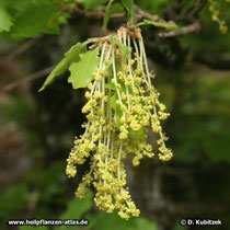 Männliche Blüten der Flaum-Eiche (Quercus pubescens). Männliche und weibliche Blüten sind auf derselben Pflanze getrennt (einhäusig = monözisch).